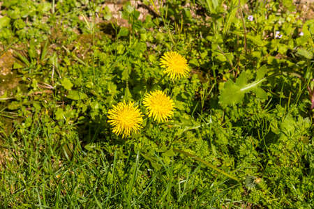 Dandelion flowers on ground background in Italian countryside