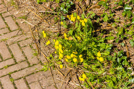grew: dandelions grew through the gaps of a paved path Stock Photo