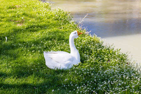 stillness: ducks and geese near a quiet river in the countryside of the hills during spring in Northern Italy near Riolo Terme (Ravenna)