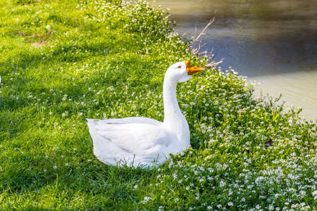 stillness: White goose near a quiet river in the countryside of the hills during spring in Northern Italy near Riolo Terme (Ravenna) Stock Photo