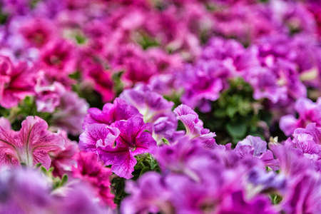 lillac: close up of lillac, purple, fuchsia and red petunias flowers Stock Photo