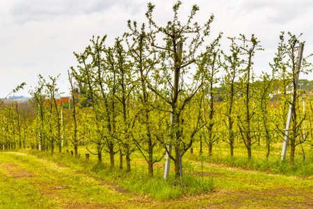 vivarium: fields of orchards organized into geometric rows according to the modern agriculture on peaceful rolling hills