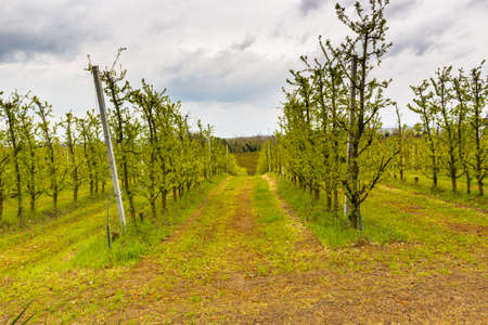 according: fields of orchards organized into geometric rows according to the modern agriculture on peaceful rolling hills