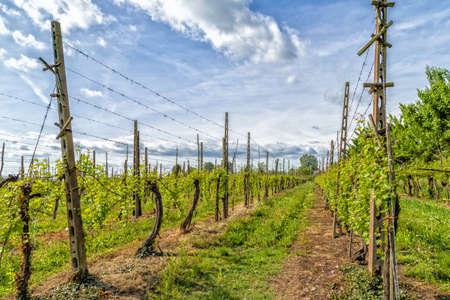 according: Green vineyards in the Italian countryside arranged into rows according to principles of modern agriculture