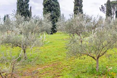according: fields of orchards organized into geometric rows according to the modern agriculture on peaceful rolling hills: olive trees Stock Photo