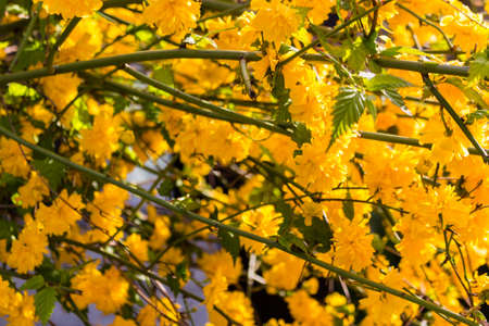 yellow trees: Yellow flowers on tree branches during spring