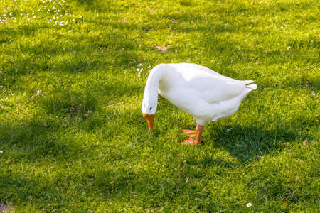 White feathered goose walking on green grass with orange webbed feet Stock Photo