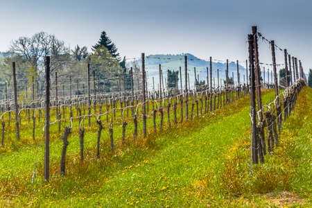 vivarium: fields of vineyards organized into geometric rows according to the modern agriculture on peaceful flat plain