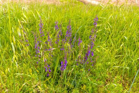 weeds: purple flowers on green weeds in Italian countryside