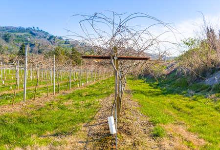 kiwi fruta: campos de vides kiwi dispuestos en filas de acuerdo a la agricultura moderna