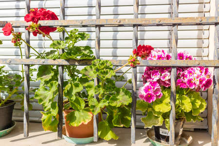 grating: window with iron grating and flower pots: red and fuchsia geranium Stock Photo