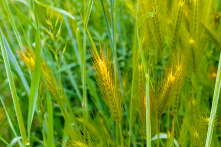 spear: Foxtail or spear grass on green weeds Stock Photo