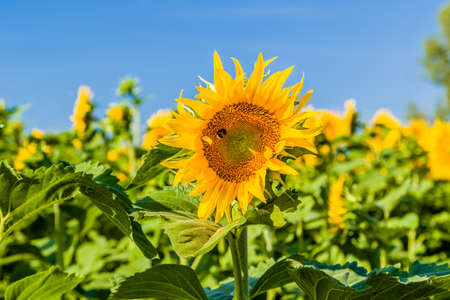 summer heat: sunflower fields - the arrival of summer is announced by the bright yellow of this flower symbol of sun and heat