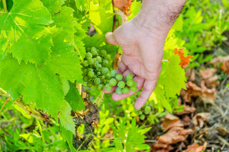 immature: love for plants and good fruit – Caucasian senior  hand kindly takes care of  young bunch of still immature grapes in the midst of lush green leaves Stock Photo