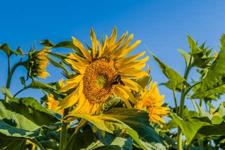 favoring: bumblebee favoring pollination transferring the pollen from a sunflower to another Stock Photo