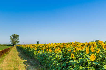 brownish: agriculture during summer - a country dirt road driving to a tree along red brownish weeds and a cultivated field of blooming sunflowers