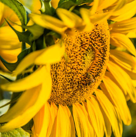 favoring: Nature helps agriculture - dipped in pollen the industrious bee, pollinator insect favoring pollination and the subsequent formation of the fruit, while transferring the pollen from a sunflower to another