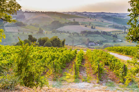 vineyard at sunset: Organic farming in hill - lush vineyards and farmland in the quiet hilly countryside Stock Photo