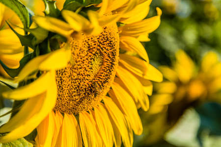 industrious: Nature helps agriculture - the industrious bee, pollinator insect favoring pollination and the subsequent formation of the fruit, while transferring the pollen from a sunflower to another