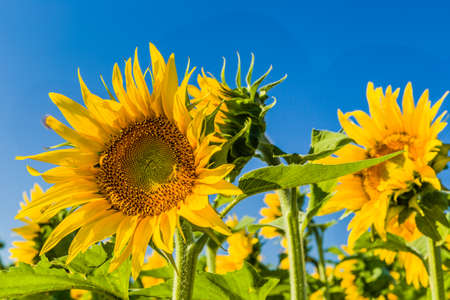 helianthus annuus: bees and sunflower fields - the arrival of summer is announced by the bright yellow of Helianthus annuus,flower symbol of sun and heat