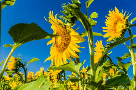 helianthus annuus: sunflower fields - the arrival of summer is announced by the bright yellow of Helianthus annuus,flower symbol of sun and heat