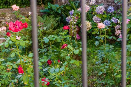 rejas de hierro: rosas en un jardín con hortensias en el fondo detrás de barras de hierro