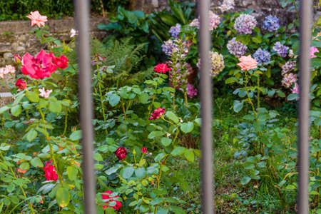 grates: roses in a garden with hydrangea in the background behind iron bars