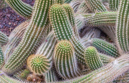 convoluted: green succulent  cactus with convoluted and vermicular paddles and lots of needles Stock Photo