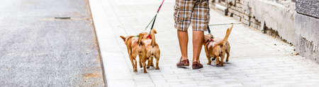 Dog sitter man walking with four dogs