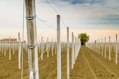 precast: rows of precast concrete white poles driven into the ground to support the fruit trees in plowed fields in modern agriculture