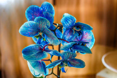 blue orchid: closeup of blue orchid