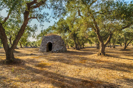 Dry stone hut with dome in grove of olive trees in Salento in Puglia in Italy