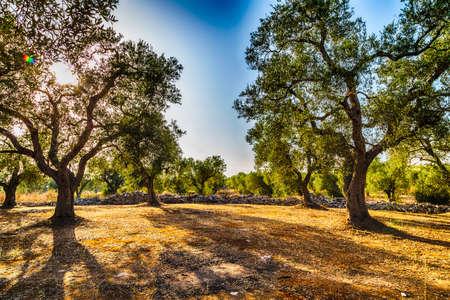 イタリアのプーリア州のサレントのオリーブの木の果樹園