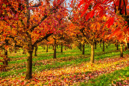 planted: In autumn red, yellow and orange of a cultivation of persimmon trees planted in regular rows. Stock Photo