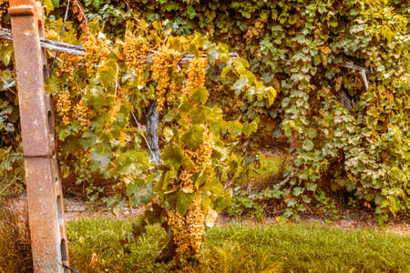 emilia: cascade of grapes in a vineyard in the countryside of Emilia Romagna in Italy