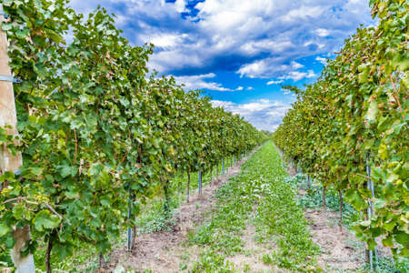regular: vines cultivated in regular rows before the harvest