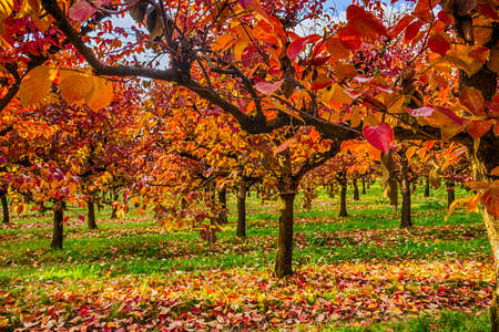 diospyros: In autumn red, yellow and orange of a cultivation of persimmon trees planted in regular rows. Stock Photo