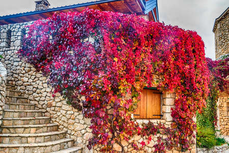 creeper: Virginia creeper on stone walls, red and orange leaves around window in autumn