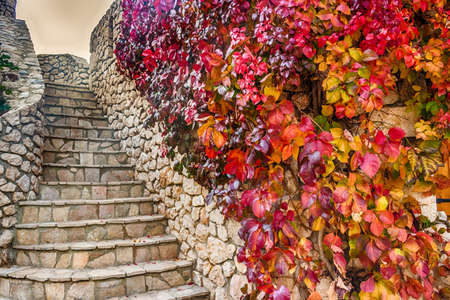 creeper: Virginia creeper on stone walls, red and orange leaves in autumn