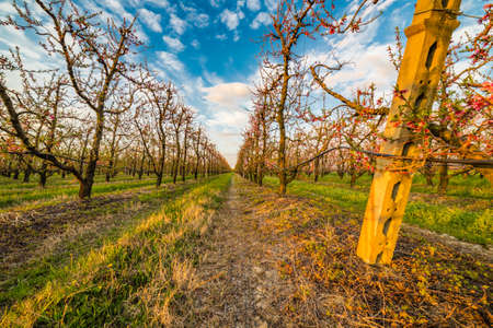 the po valley: peach orchard in bloom in the Po valley in Emilia Romagna in Italy
