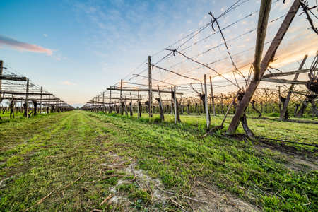 clinging: leafless vineyards clinging to supports made of wooden planks, concrete poles and steel cables according to modern agriculture
