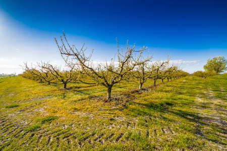 fungicide: peach trees in bloom treated with fungicide and insecticide in traditional agriculture in the countryside of Romagna