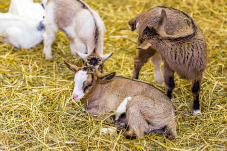 squatting: young goats squatting on straw Stock Photo