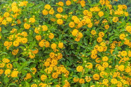 lantana: close up of yellow lantana flowers Stock Photo