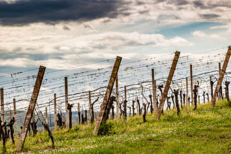 leafless: Leafless vineyards in rows in Italy