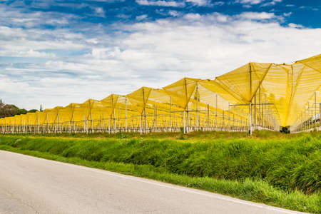 hail: yellow hail  towels on crops of fruit trees
