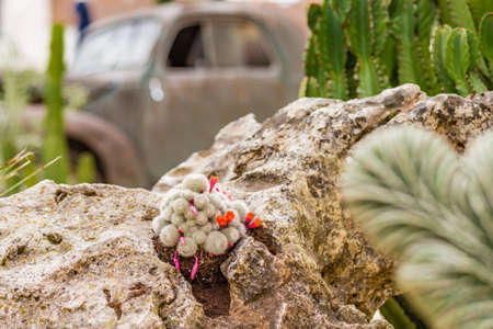scrap car: actus and succulents near the scrap of Italian historical car in the sand