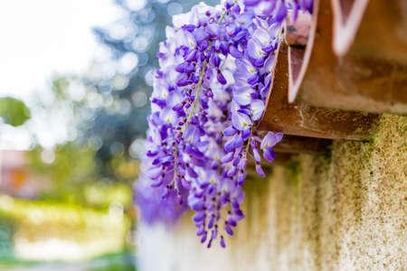 wistaria: lilac wisteria in full bloom