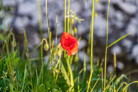 weeds: red poppy surrounded by weeds