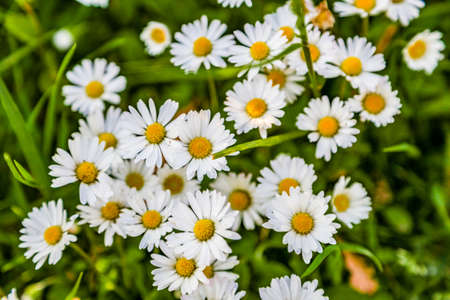 yellow stamens: daisies in bloom on a green spring meadow, show their white petals and yellow stamens Stock Photo